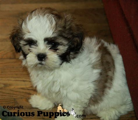 how big does a teacup shih tzu get shih poo puppy cut newhairstylesformen2014