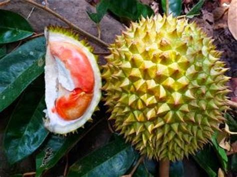 Bibit Durian Merah Kalimantan durian merah banyuwangi durio from banyuwangi