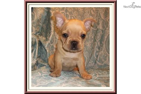 frenchton puppies for sale near me bulldog puppy for sale near tallahassee florida 0a7f3974 fe21