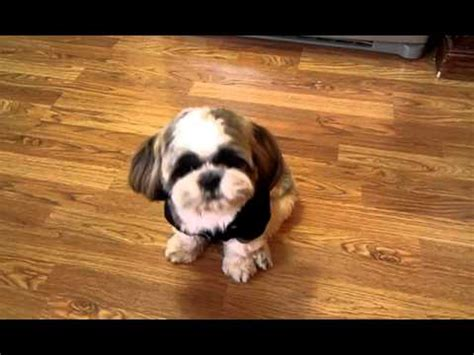 talking shih tzu conversations with king bubba the talking shih tzu we bet it will make you say