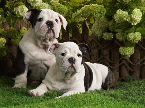 pictures of american bulldog puppies american bulldog puppies puppies wallpaper