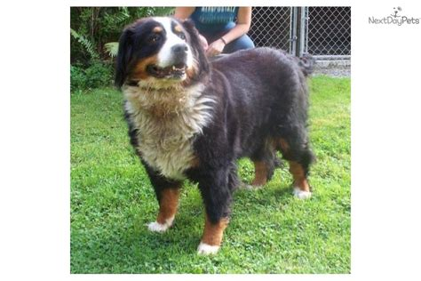 bernese mountain puppies for adoption bernese mountain puppy for adoption near e28fe32e 4922