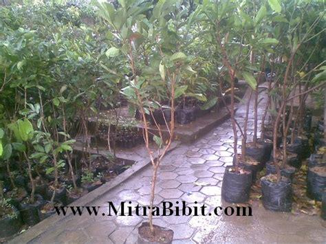 Bibit Cendana Bersertifikat cv mitra bibit budidaya tanaman rambutan dengan okulasi