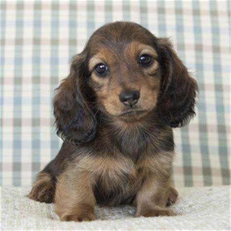 dachshund puppies kentucky miniature dachshund puppies ky photo