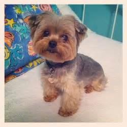 teddy bear yorkie haircut hairstylegalleries com