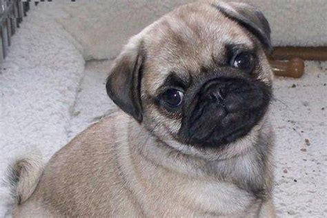 pug for sale pug puppies for sale bazar