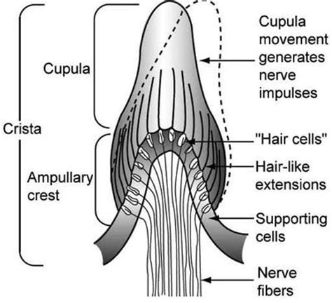 Cupula Definition Vestibular Nerve Define Vestibular Nerve At Dictionary