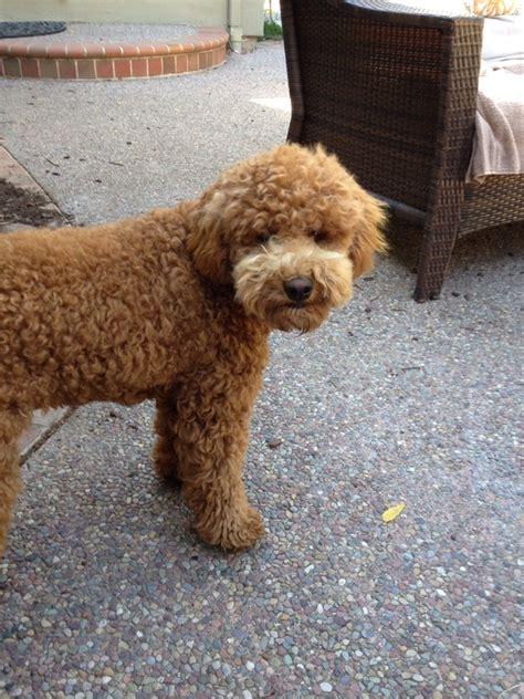 mini goldendoodles reviews reviews past puppies doodles and more