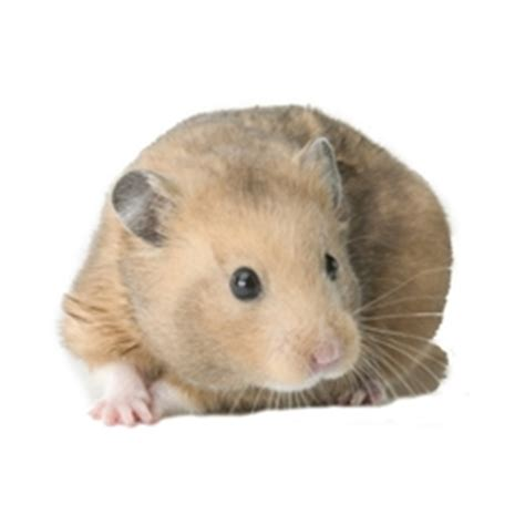 the gallery for gt syrian hamsters pets at home