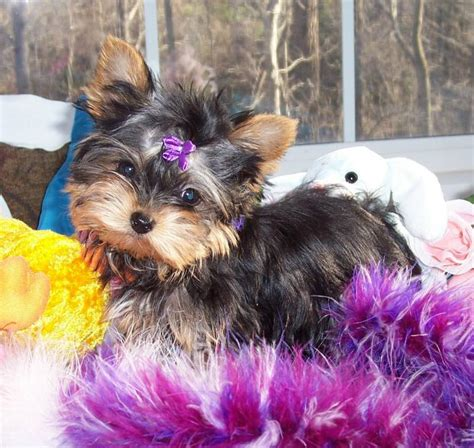 teacup yorkies for sale in ohio outstanding yorkie puppies for free northeast ohio dogs for sale puppies for sale