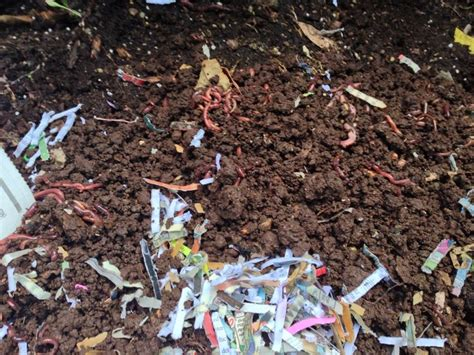 best compost worms 17 best images about worms compost on gardens