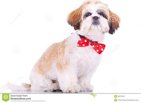 how to my shih tzu puppy to sit sitting shih tzu puppy stock photography image 22213322