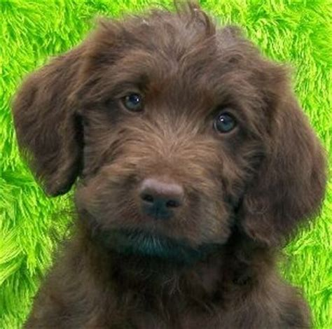 mini goldendoodle ta labradoodle puppy pictures of the labradoodle