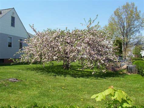 melo da fiore melo da fiore malus alberi melo da fiore malus