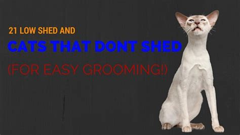 Cat Breeds That Dont Shed by 21 Low Shed And Cats That Don T Shed For Easy Grooming Cat Overdose