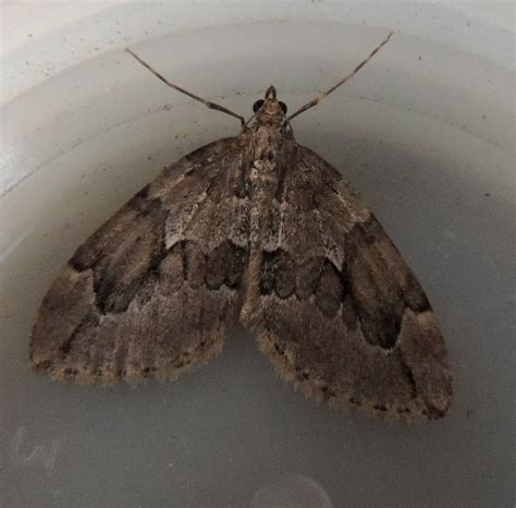Juniper Carpet Cottingham Moths Tiny Moths All House