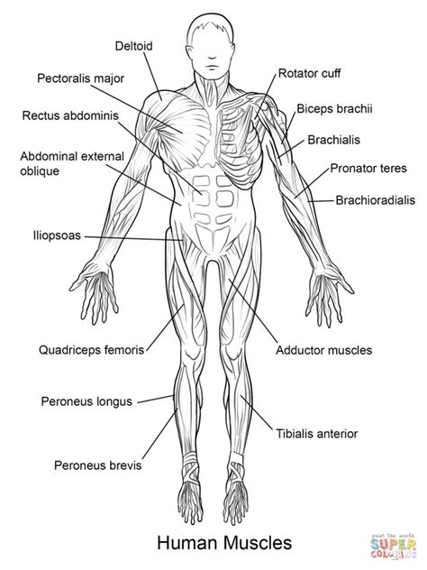 anatomy coloring book muscles 1545202672 anatomy coloring book muscles free coloring page