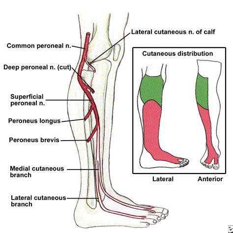 sciatic nerve diagram sciatic nerve location diagram anatomy chart