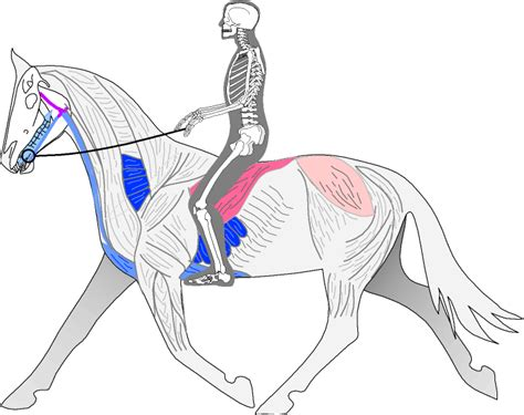 horses muscles diagram biomechanics of the dressage or spiral seat