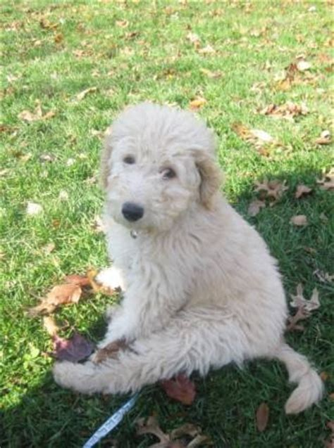 mini goldendoodle puppies for sale bc 17 best ideas about golden doodle mini on