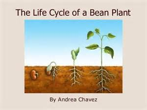 The Life Of A Flower - quot the life cycle of a bean plant quot free books amp children s