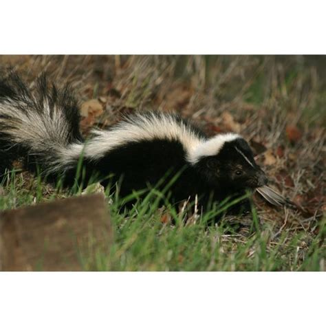skunk repellent go search for tips