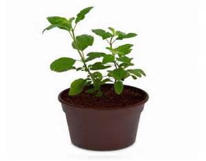 vastu tips for tulsi plant