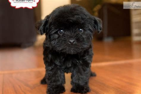 show me pictures of yorkies meet a yorkiepoo yorkie poo puppy for sale for 1 299 loving yorkiepoo