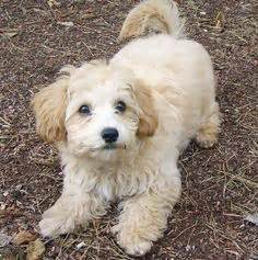 References Photos Thomas Kennel Maltese Poodles | another malchipoo maltese chihuahua poodle mix a