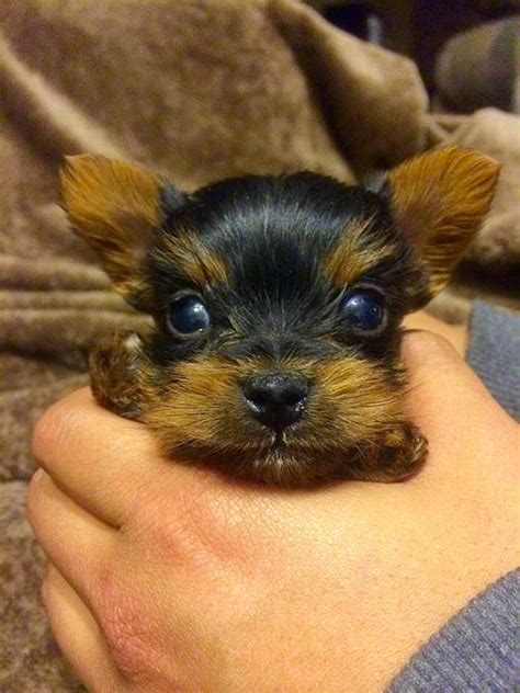 yorkie for sale ottawa tea cup yorkie puppy for sale south