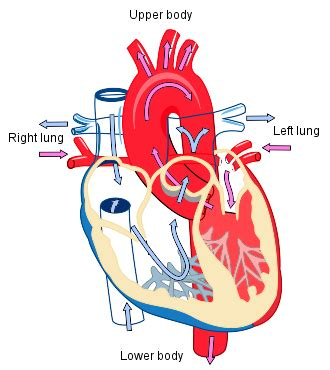 hearts and sharts cardiac physiology wiki everipedia