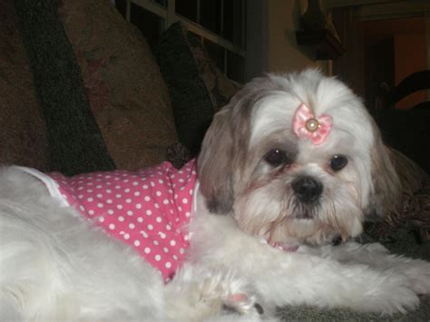 shih tzu clothing more pictures doggie clothing shih tzu terrier pugs dogs city data