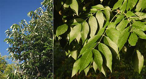 Foliage Of Plants - urbanite green ash oregon state univ landscape plants
