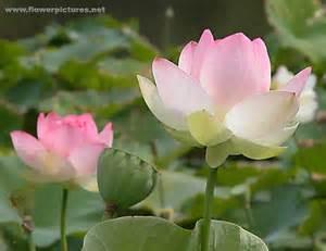 Blooming Lotus Flower Lotus