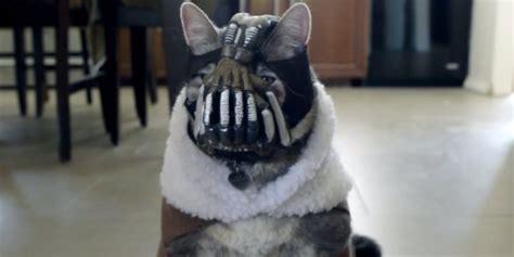 Bane Cat Meme - bane cat is back video huffpost uk
