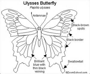 4Gminibeasts  Ulysses Butterfly Ashley sketch template