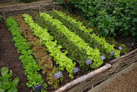How To Lettuce From Your Garden by S Cutting Garden Lettuce Jpg