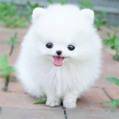 white pomeranian baby white pomeranian puppy m5x eu