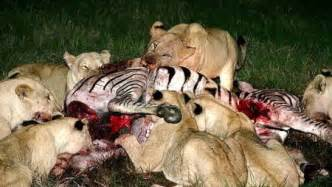 What do lions eat about lions online biology dictionary