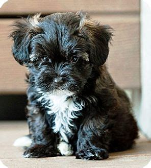 shih tzu mix puppies in michigan benson adopted puppy battle creek mi poodle shih tzu mix
