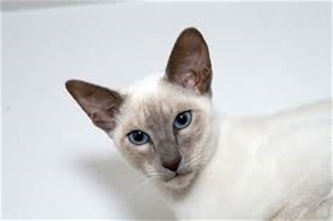 Do Siamese Shed all pet magazine informational pet