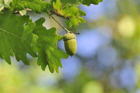 Eiche Bilder by Eiche Pflanzen Der Eichel Zum Baum Gartenpflanzen