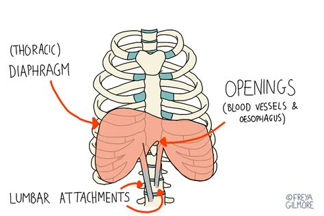 yoga anatomy 6 reasons why the diaphragm may be the coolest muscle