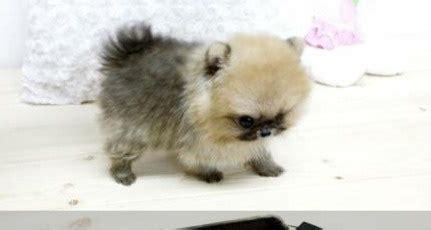buy pomeranian uk 14 best images about pom pup on adoption pom and teacup pomeranian