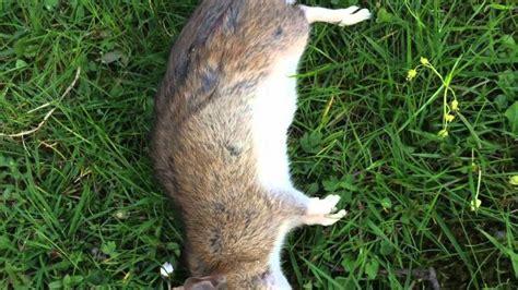 Ratten Im Garten Vertreiben