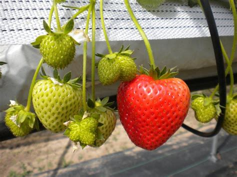 fruit you 7 delicious fruits you can grow indoors this winter