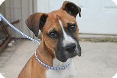 puppies for adoption albany ny boxers rescue me on boxer mix boxers and adoption
