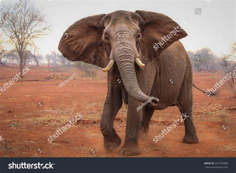 flapping ears elephant flapping ears and kicking up sand south africa stock photo