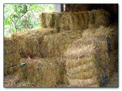 Starbio Ternak Kambing gunung pegat farms jerami pakan alternatif kambing