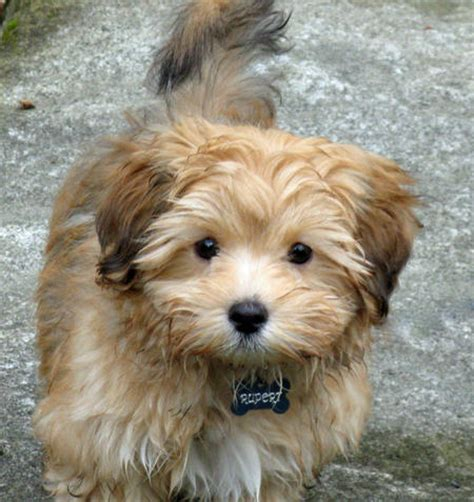 best puppy food for havanese rupert the havanese puppies daily puppy breeds picture